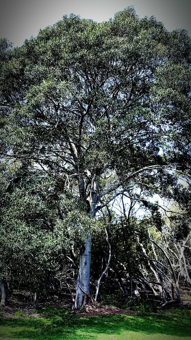 Big Tree Green Leaves Wetlands Outdoors Nature Beauty In Nature Green Leaf At Deception Bay Qld Australia