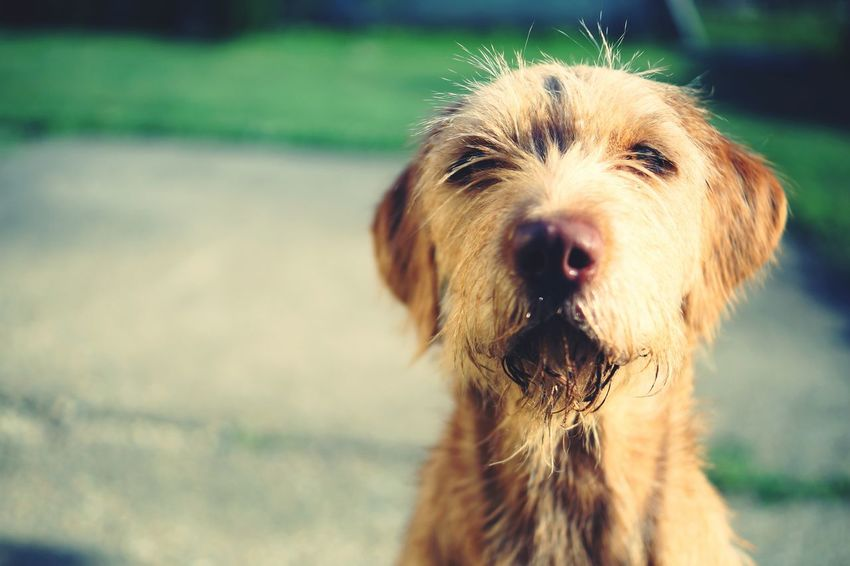 Dog Pets One Animal Cute Animal Outdoors Animal Themes The Week On EyeEm Wirehaired Hungarian Vizsla Vizsla Vizsla Life Mix Yourself A Good Time Sony α♡Love Sonya58 Pet Portraits EyeEmNewHere The Week On Eyem