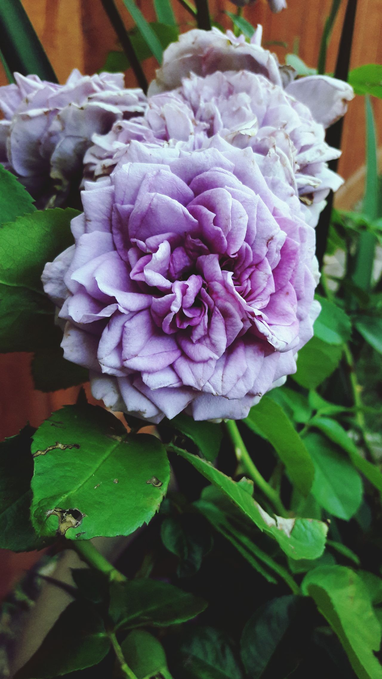 Flower Fragility Nature Petal Beauty In Nature Flower Head Leaf Plant Close-up Purple No People Growth Day Freshness Peony  Outdoors