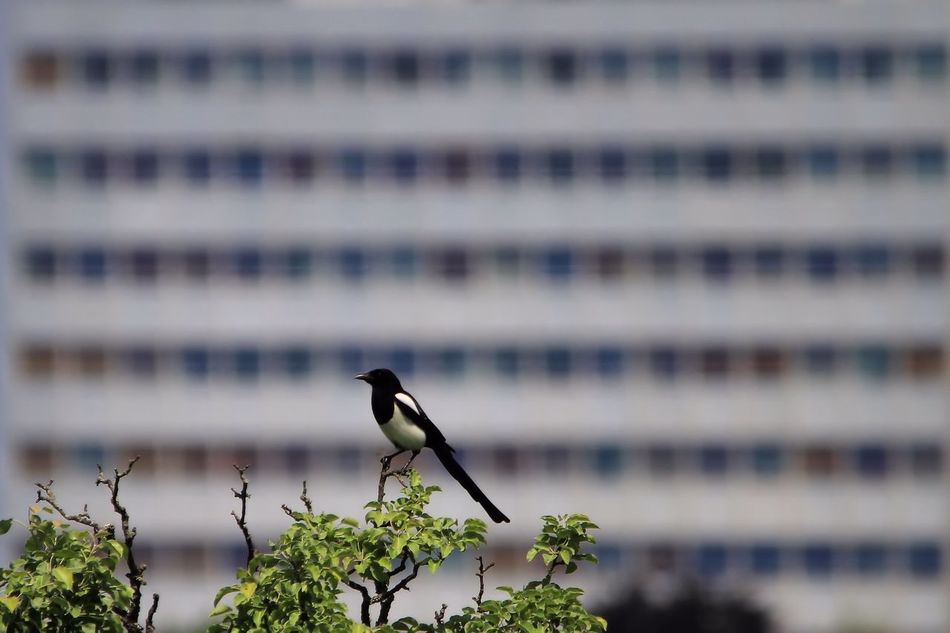 Avian Background Texture Beauty In Nature Bird Close-up Day Elster Focus On Foreground Growth House Background Natur Und Architektur Nature No People Outdoors Perching Selective Focus Wildlife