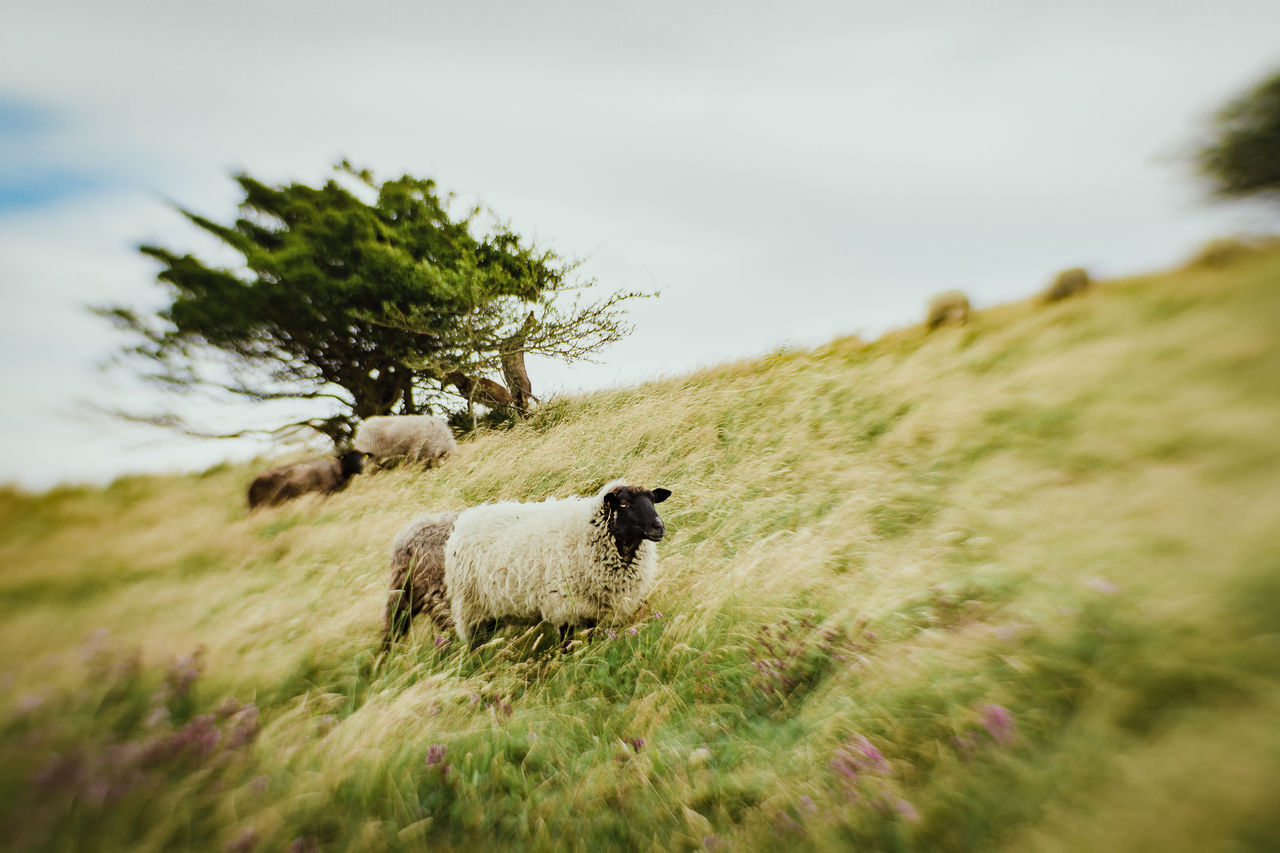 Sheep Walking On Grassy Hill Against Sky