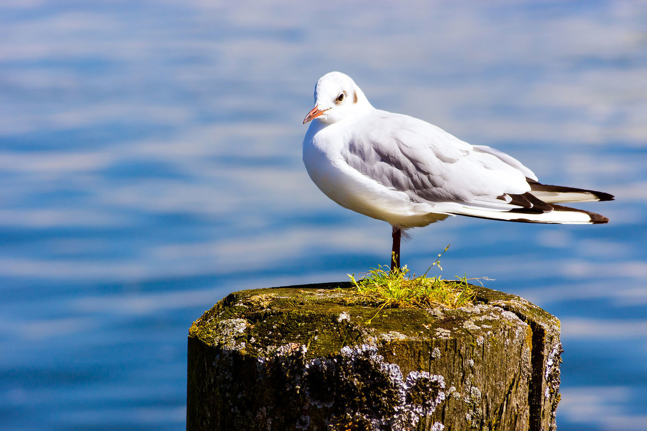 Die Möwe Animal Themes Animal Wildlife Animals In The Wild Beauty In Nature Bird Close-up Day Focus On Foreground Nature No People One Animal Outdoors Perching Sea Sea Bird Seagull Water White Color Wooden Post