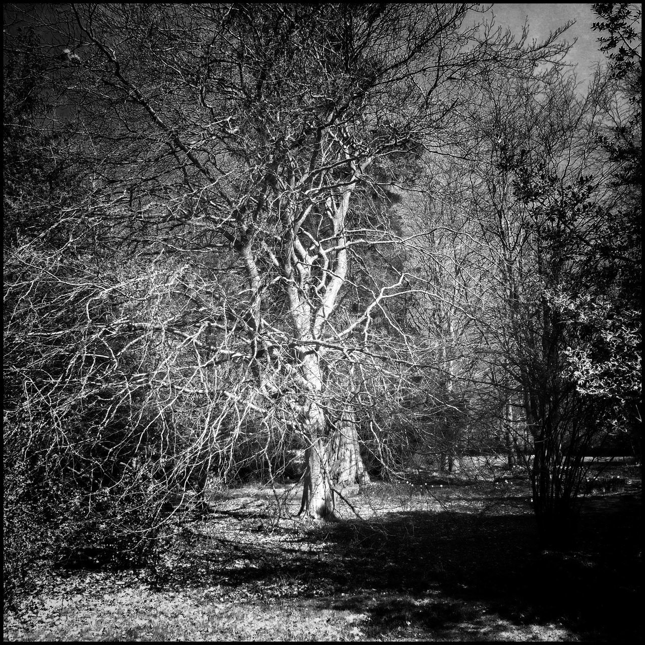 Tree Historic Tree_collection  Light And Shadow Garden Photography Scotland Flaneur Nature Enjoying Nature Textures And Surfaces Black And White Blackandwhite
