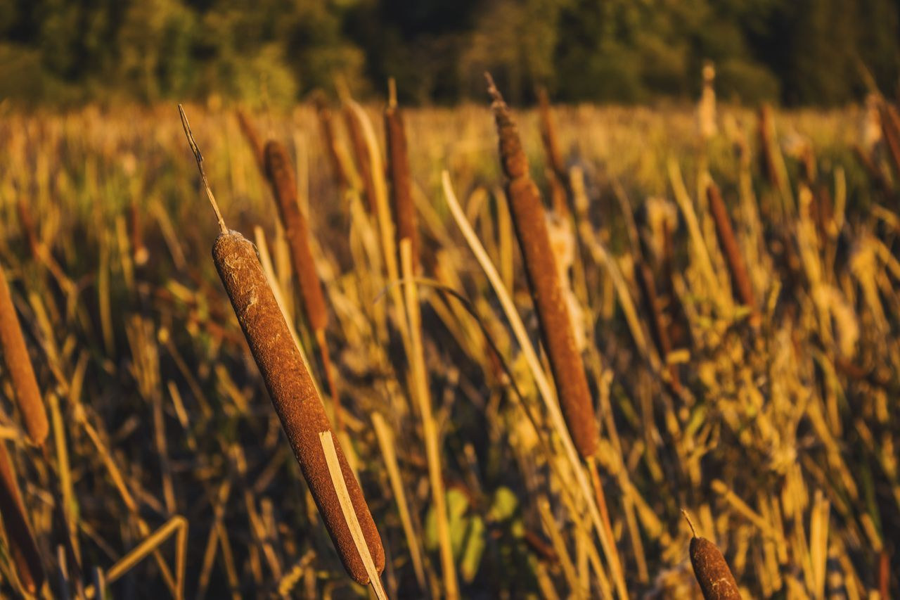 Golden hour cattails... Cattails Sunset Golden Hour Nature EyeEm Nature Lover Sunlight Fall Beauty Eye4photography  Getting Inspired Nature Photography