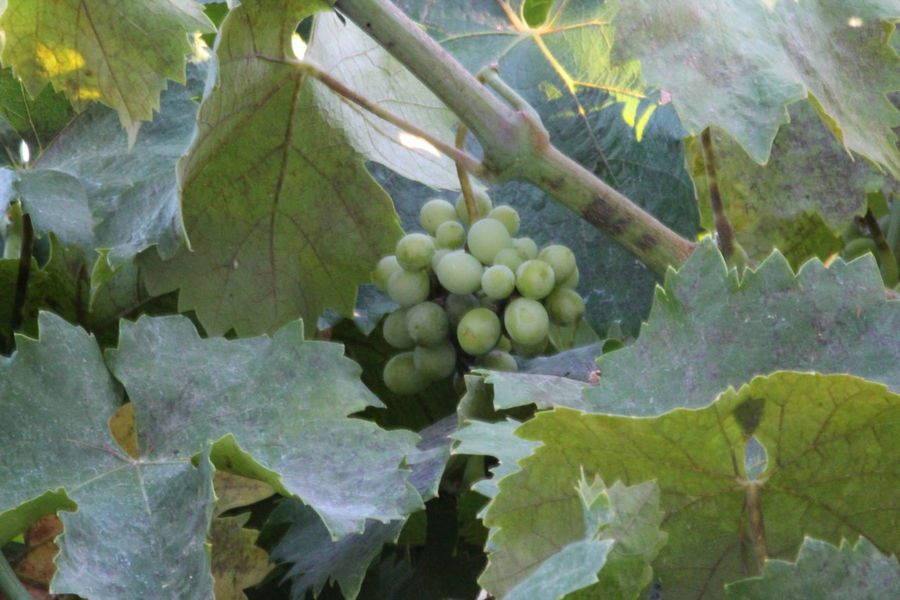 Grapes Freshness Grape Vine Healthy Eating; Organic Grapes Close-up Grapes 🍇 Green Color Healthy Fruit No People
