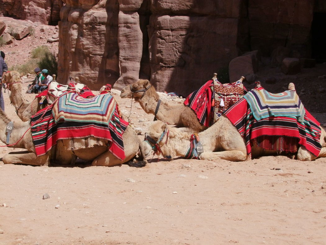 Camels Resting Al-siq Animals Arid Climate Bedouins Camels Colourfull Composition Famous Place Full Frame Fun Incidental People Japan No People Outdoor Photography Petra Relaxing Resting Riding Camels Sandstone Sunlight And Shadow Tired Out Tourist Attraction  Tourist Destination Working Animals