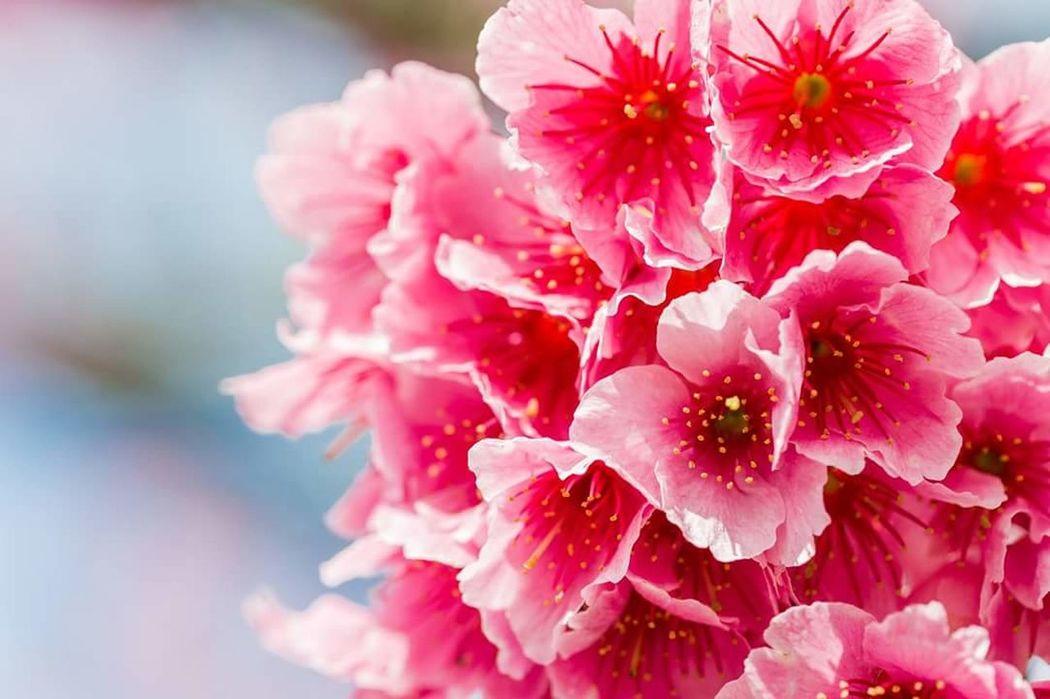 櫻花 寒腓櫻 Sakura