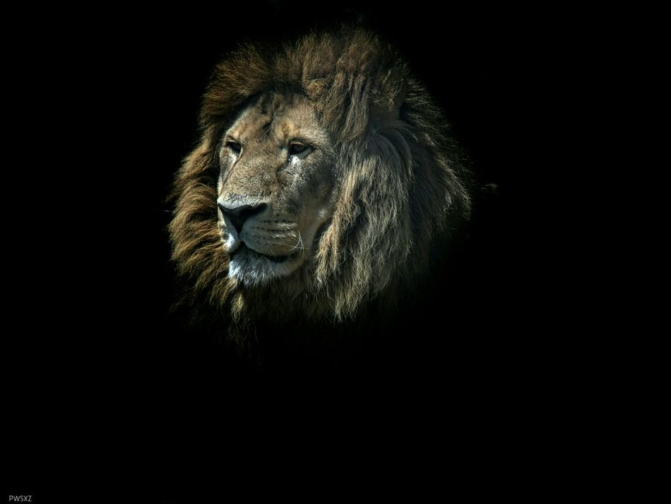 Beautiful stock photos of lion, Animal Themes, Black Background, Lion, Looking Away