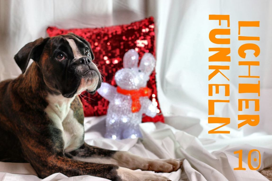 Türchen 10 Juno's Adventskalender Juno's World For My Friends That Connect Boxer Boxer Dogs Portrait Dog