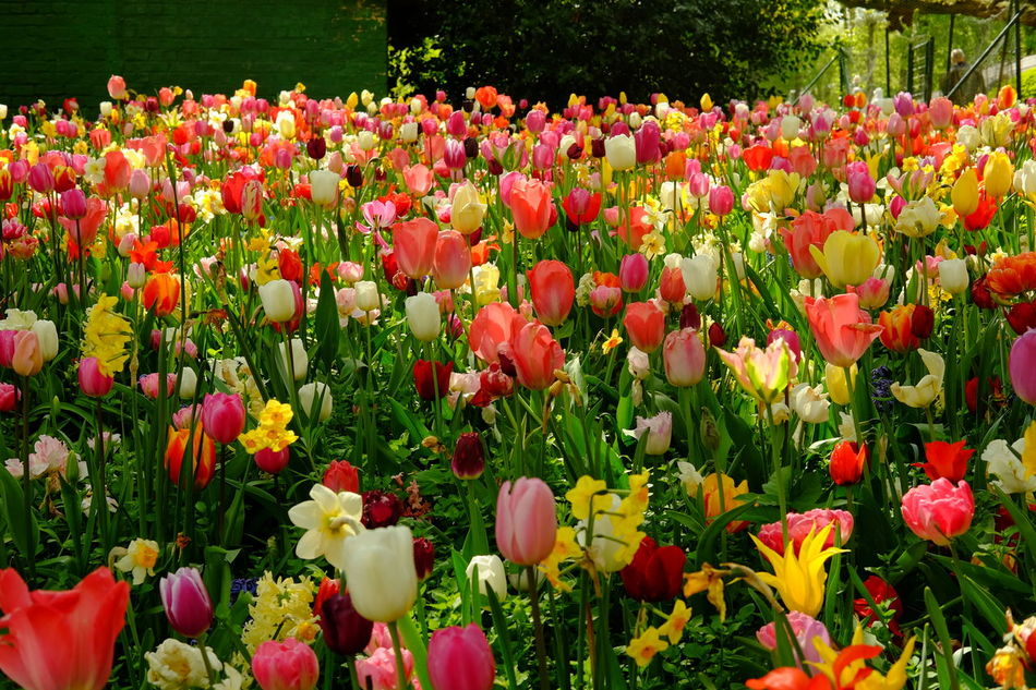 Floralia Bruxelles - Grand Bigard Castle - Beauty In Nature Blooming Day Field Floral Flower Flower Head Flowerbed Fragility Freshness Garden Growth Multi Colored Nature Outdoors Plant Red Tulip