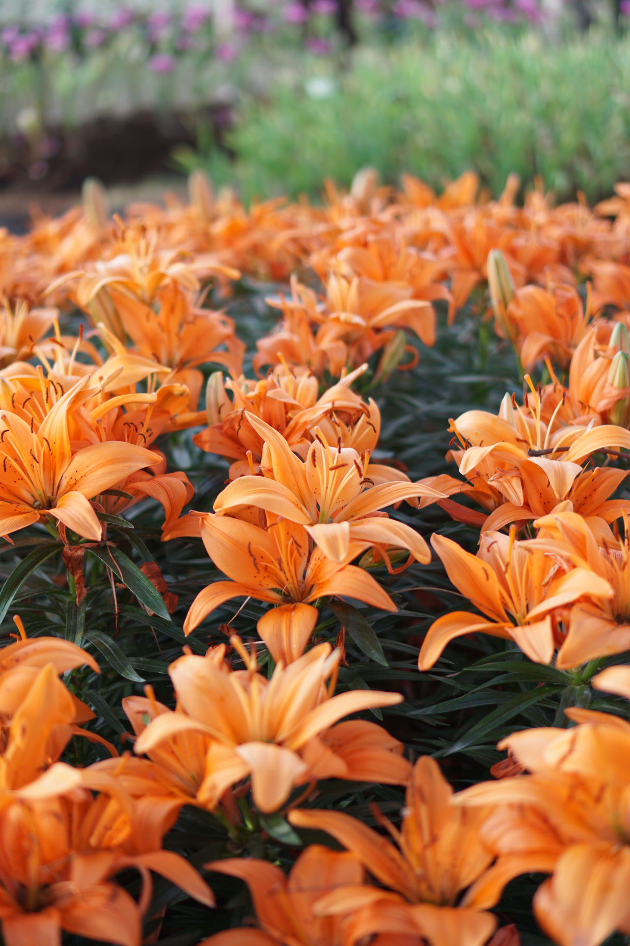 Orange Lilies Beauty In Nature Blooming Close-up Day Field Flower Flower Head Fragility Freshness Growth Lilies In Bloom Nature No People Orange Color Outdoors Petal Plant