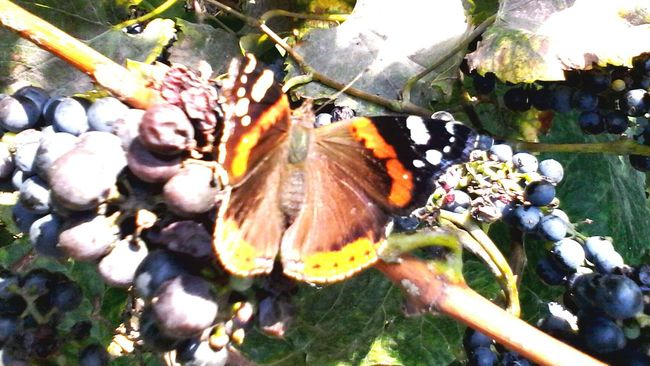 Butterfly Nature Focus On Foreground Multi Colored Showcase: 2016 Autumn Showcase: October Fruits Grapes Butterfly - Insect Dramatic Angles Colorful Butterfly Collection Wolfzuachis Ionitaveronica Insect Eyeem Market @wolfzuachis Slowfood Vineyard Edited By @wolfzuachis Butterfly Eating Grape's Juice Beauty In Nature Close-up Butterfly Eating