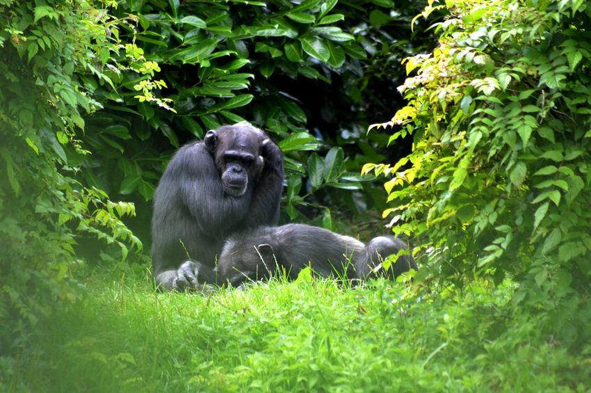 A Clearing Among The Trees Among The Trees Animal Life Animals Chimpanzees Companionship Family Friendship Green Mammals Trees