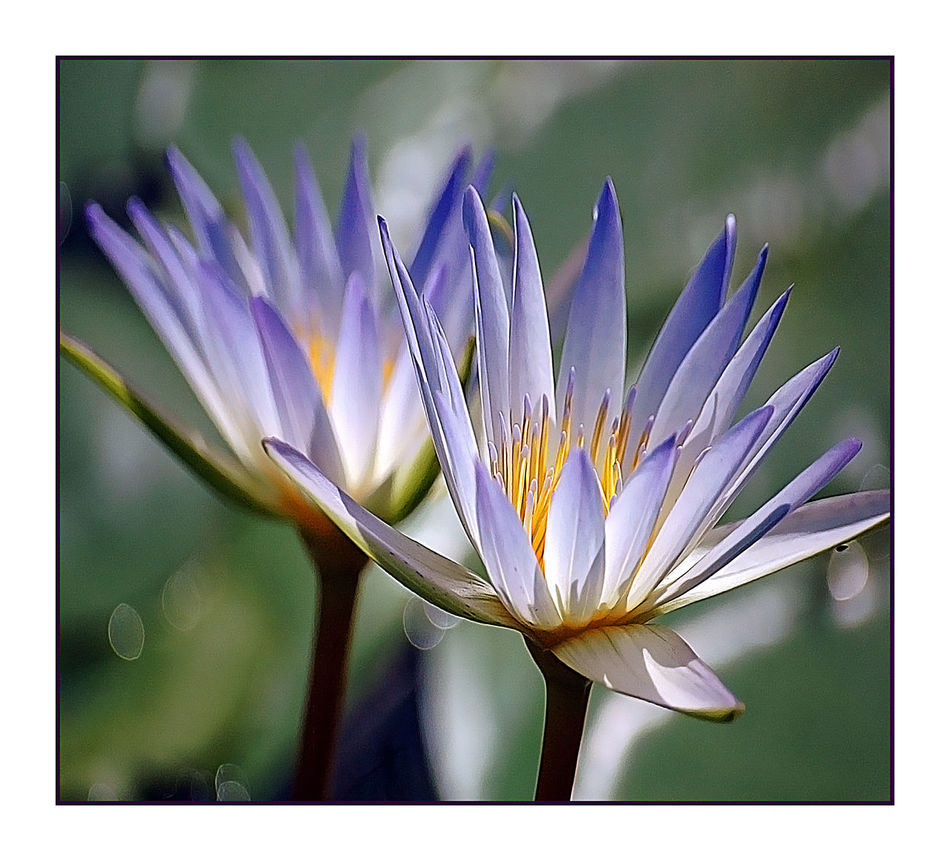 Beautiful Beauty In Nature Blooming Close Up Nature Close-up Flower Flower Head Flowers Focus On Foreground Fragility Freshness Joel Yonzon New Life No People Petal Plants And Flowers Pollen Purple Springtime Waterlily 🌷