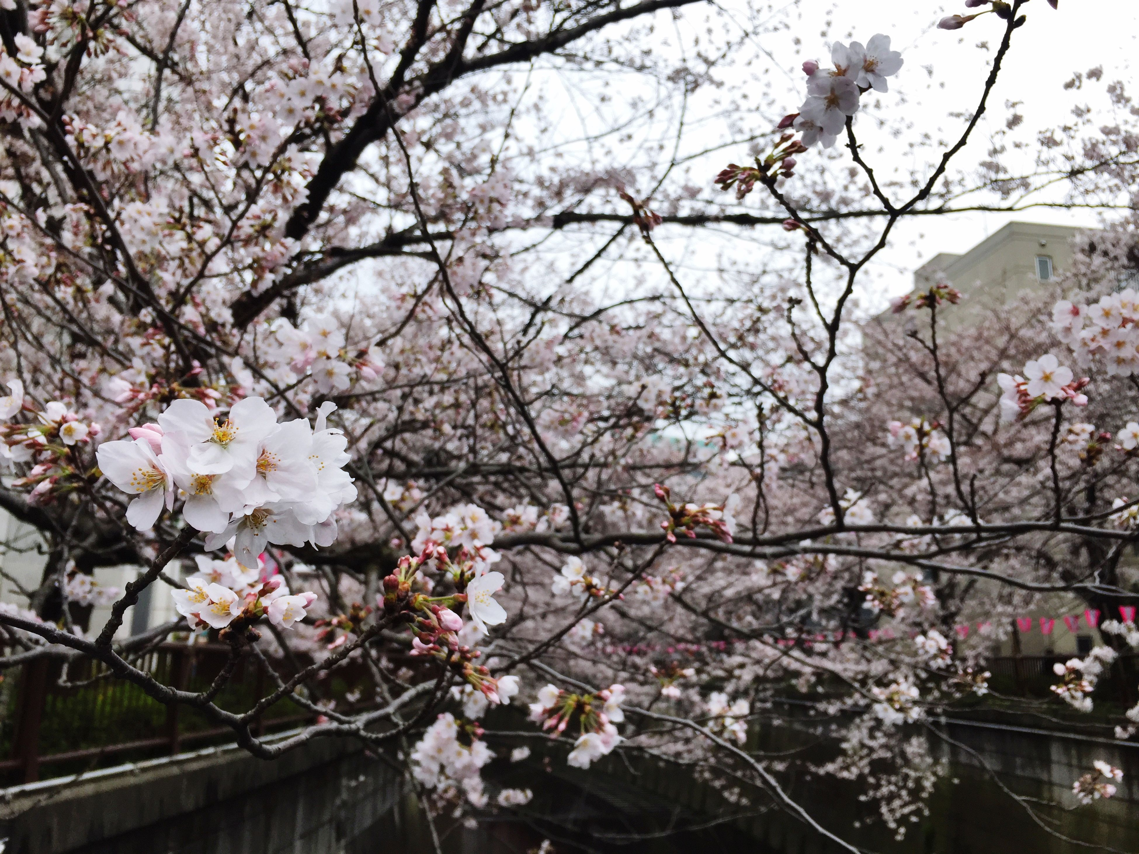 flower, tree, branch, cherry blossom, freshness, cherry tree, blossom, fragility, growth, beauty in nature, low angle view, fruit tree, nature, springtime, in bloom, pink color, orchard, blooming, apple blossom, petal