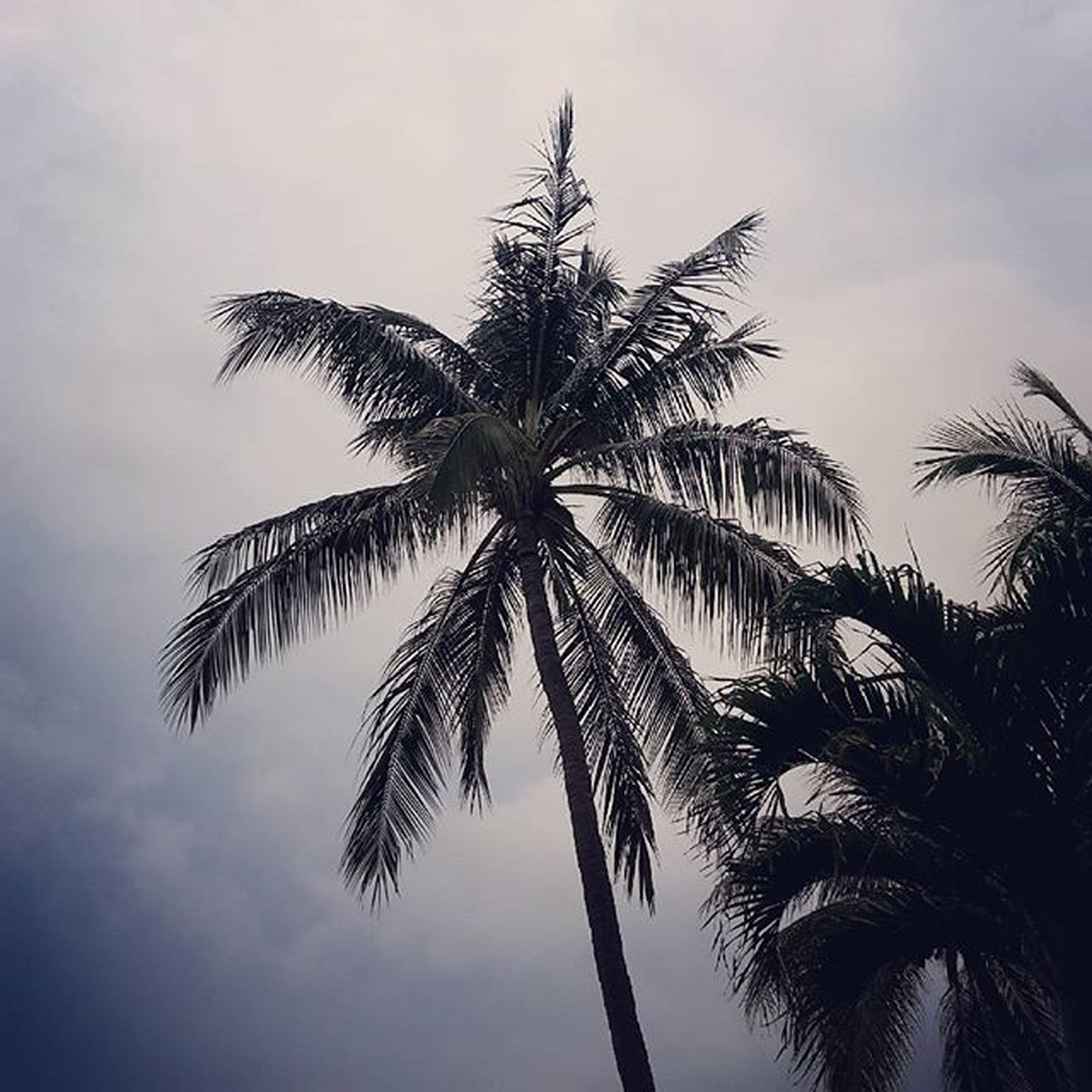 palm tree, low angle view, tree, sky, growth, tranquility, tall - high, coconut palm tree, palm leaf, nature, beauty in nature, tree trunk, cloud - sky, silhouette, scenics, tranquil scene, palm frond, tropical tree, cloud, outdoors