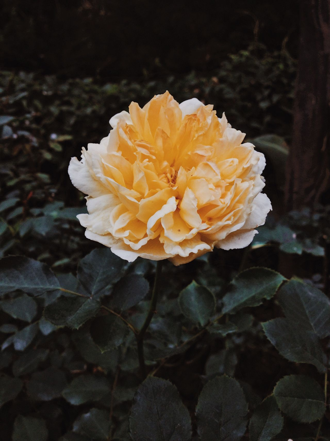 Roses Yellow Bloom Blossom Color Colorful Flower Garden Love Nature Plant Petal Romantic Fragility Close-up Freshness