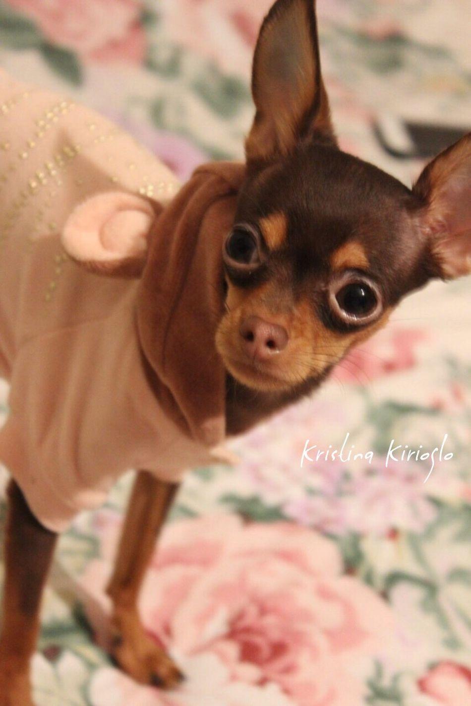 Russiantoyterrier Russiantoy Russiantoyterier Dog Mydog Animal Prettywoman Sweetpuppy Puppy Mypuppy русскийтойтерьер русскийтой щеночек