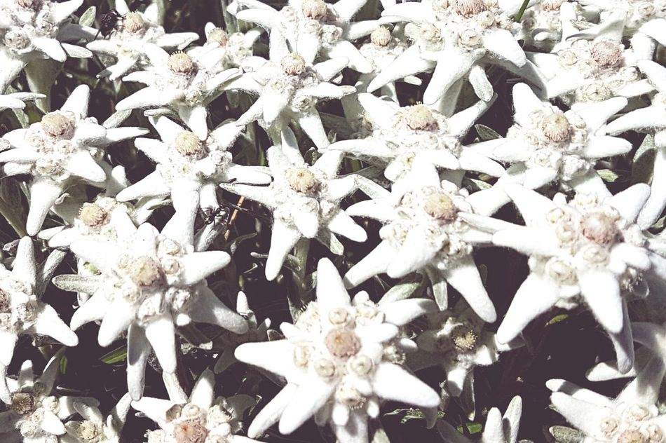 Switzerland Flower Photography Eyem Nature Lovers  LoveNatureAndMountain Summerholiday Edelweiss Edelweissparadise
