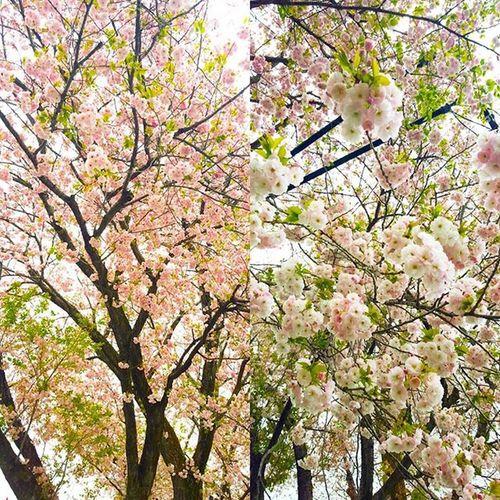 おハローございます 3年生の娘ちゃんが なにやら 朝からママとバトルやん! 好きな男子と 一緒に公園で宿題やりたいってさ ママさんはなんか駄目な方向性 娘ちゃん必死に説得してるな〜 (笑) 頑張れ! 八重桜がいい感じ Cherryblossom