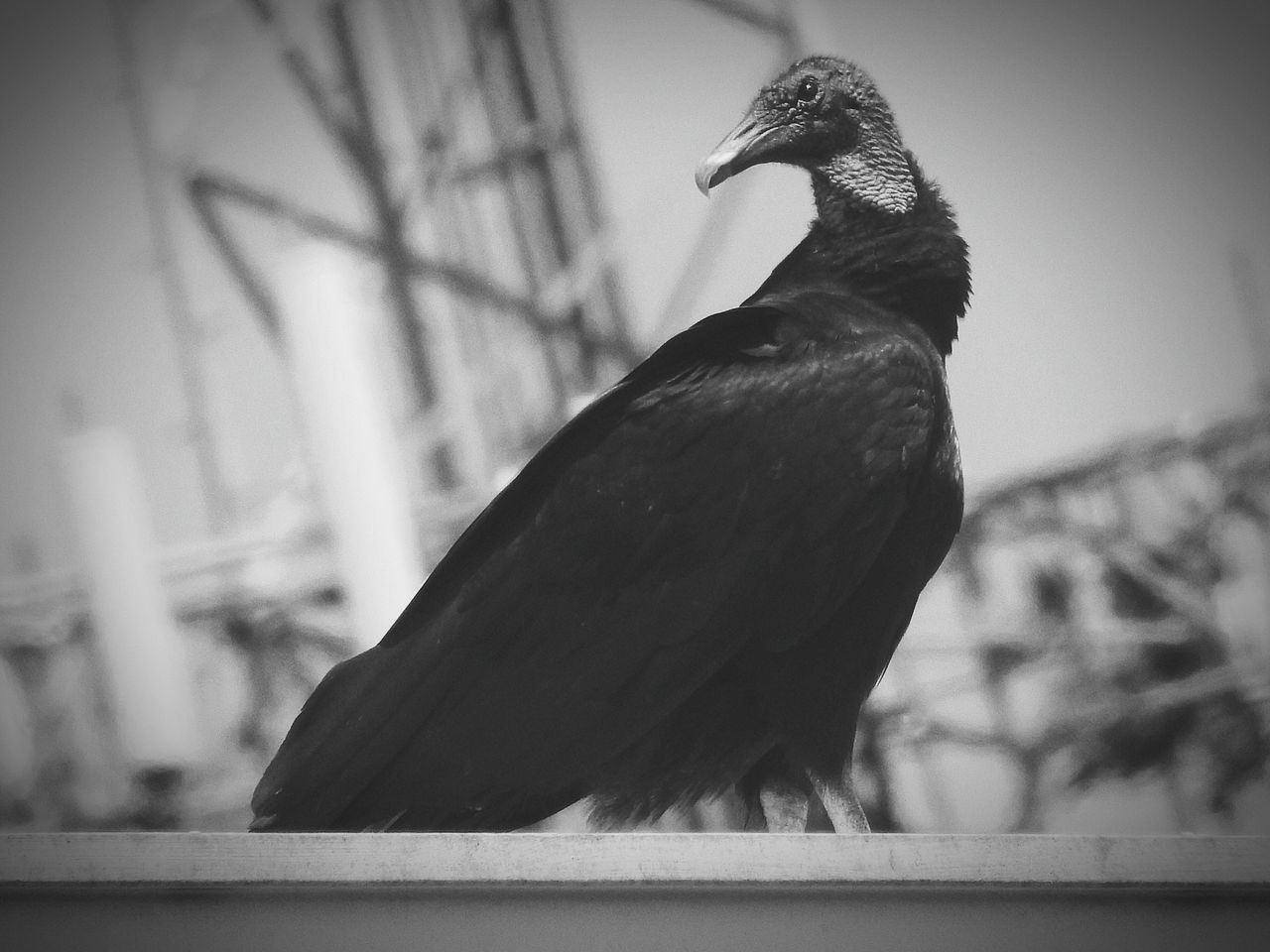bird, one animal, animal themes, animals in the wild, perching, animal wildlife, focus on foreground, no people, raven - bird, crow, outdoors, close-up, beak, day, nature, sky
