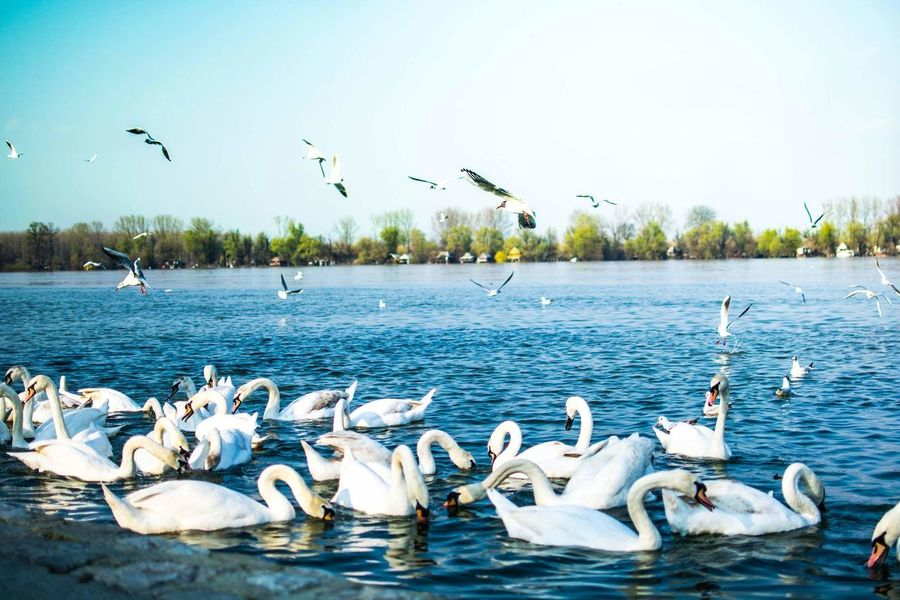 Spring Nature River Swan Beutiful Place  Belgrade Zemun Serbia Photography Amateur NIKON D5300 Happiness Eye4photography  EyeEm Gallery Landscape Sunny Day Birds Of EyeEm  Showcase April Blue Wave Nofilter Without Filters The Great Outdoor With Adobe