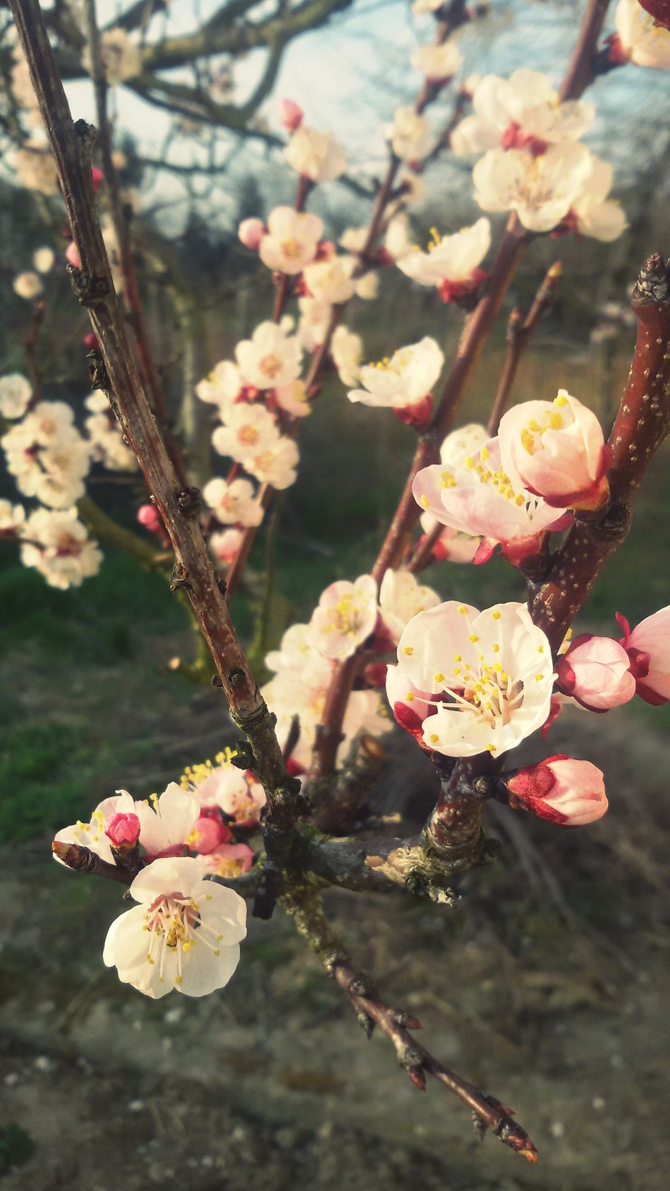 Sour Cherry Cherryflower Cherrytree Flowers White Flowers Spring New Life