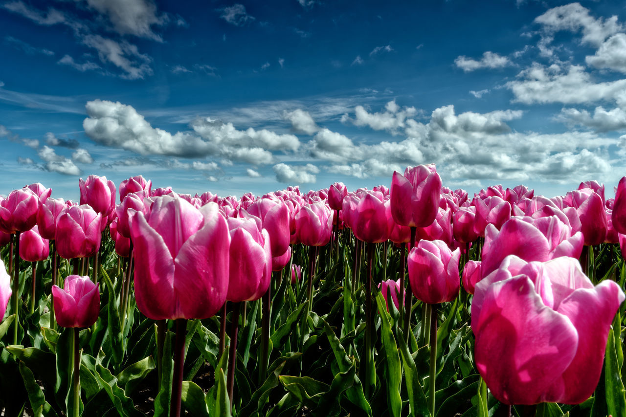 The Sky Is The Limit Beauty In Nature Cloud - Sky EyeEmNewHere Flower Flower Head Fragility Freshness Nature No People Outdoors Plant Sky Tulip Vibrant Color