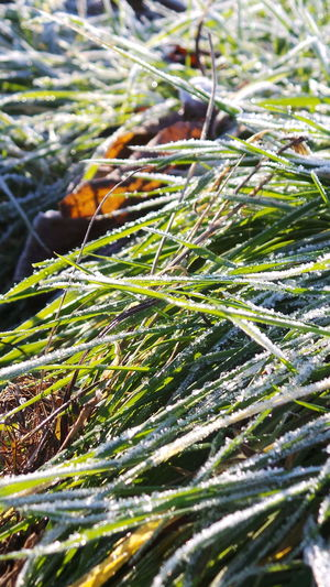Nature Close-up Green Color Beauty In Nature Outdoors Tranquility Grass It Is Cold Outside Autumn 2016 November2016 The Places I've Been And The Things I've Seen How Is The Weather Today Scenics Sun Sunlight Low Angle View Bokeh Winter Is Coming... First Touch Of Winter Winter