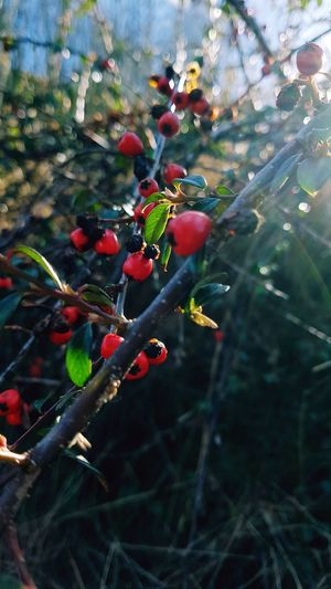 Nature Red Plant Growth Close-up Branch Freshness No People Fruit Nature Tree Outdoors Green Color Leaf Day Beauty In Nature