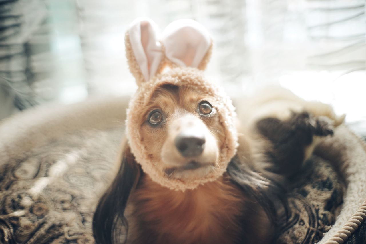Is it Easter holiday yet? Mammal Animal Themes Looking At Camera Domestic Animals Pets One Animal Portrait Dog No People Day Close-up Indoors  Dauchshund Dog Love Cute Cute Pets Love