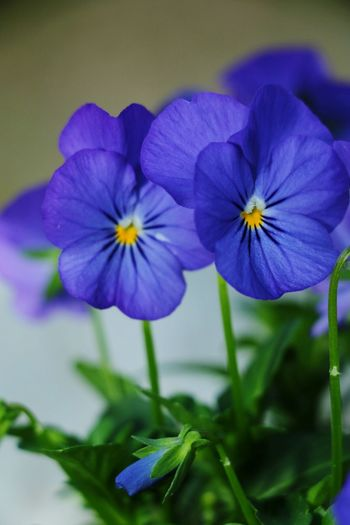 Flower Purple Petal Beauty In Nature Plant Fragility Nature Pansy Blue Freshness