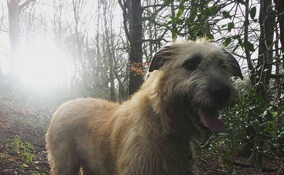 Wolfie. Irishwolfhound Wolfies Wolfie Irish Dogsofinstagram Dogstagram Irishgirl