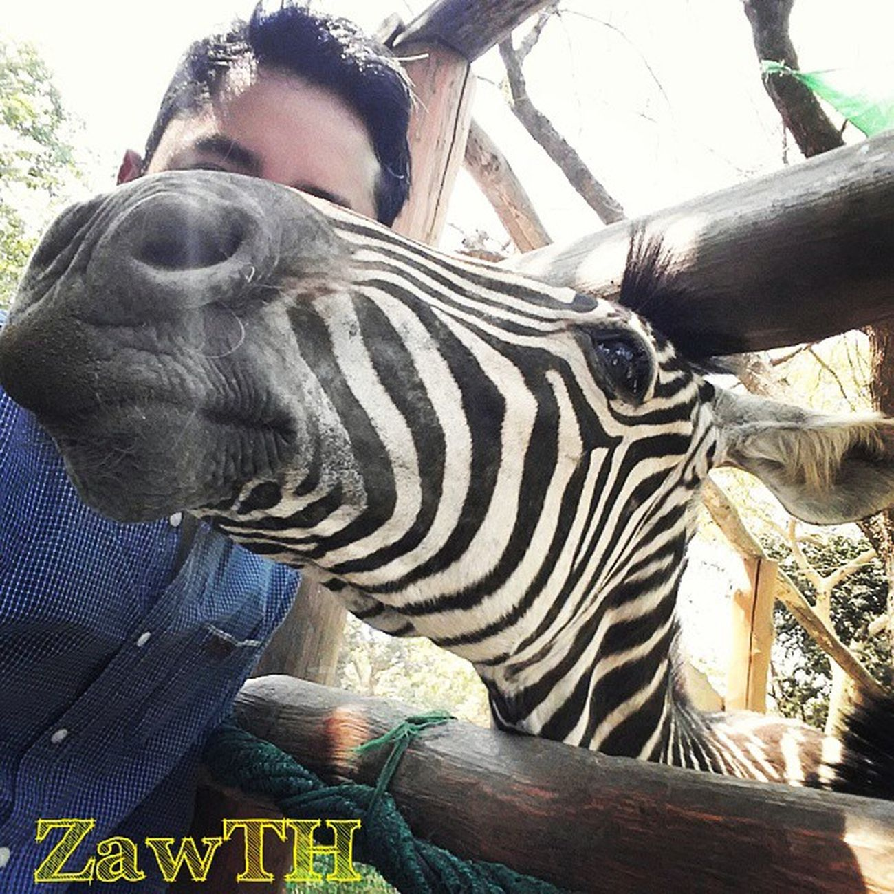 Naughty Zebra!!! ေတာ္​​ေတာ္​ ခ်ိဳးတဲ့ ဂ်ီးဘယား He doesn´t let me in the selfie. Selfie Zebra Zoo Mandalay Myanmar Myanmarphotos Vscomyanmar Igersmyanmar Igersmandalay Zawth Naughty Igglobal Rcnocrop
