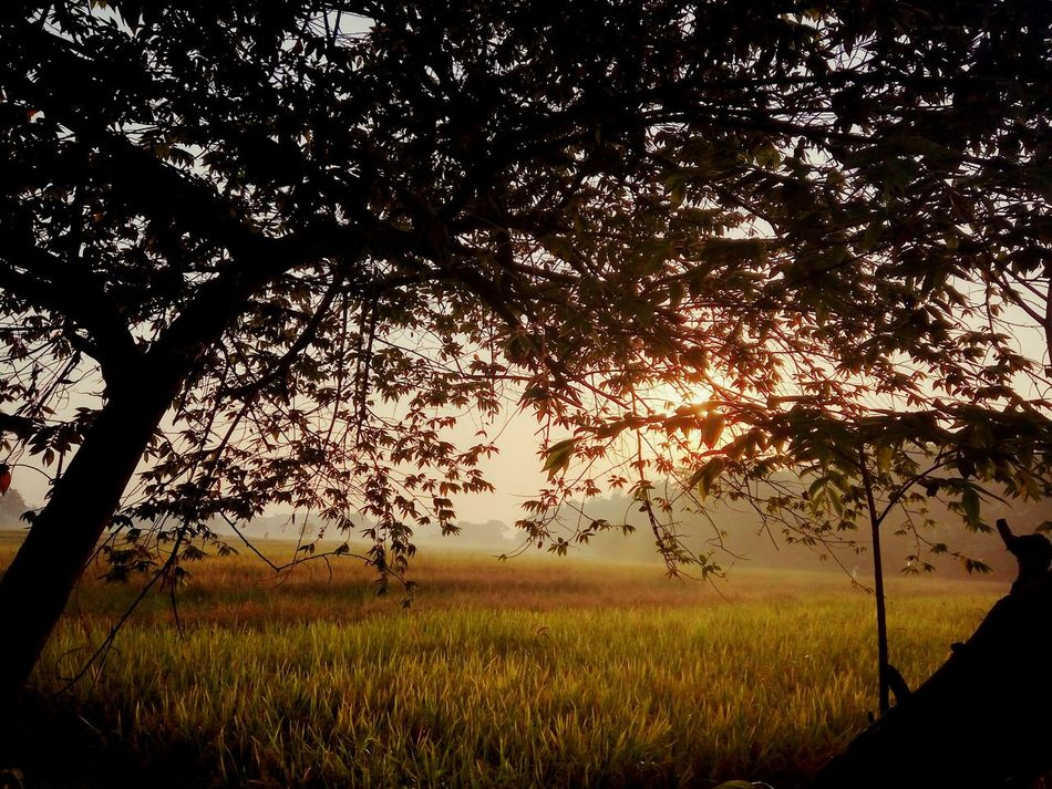 Nature Tree Sunset Growth Tranquility Beauty In Nature Outdoors No People Scenics Sky Grass Lush - Description Day Agriculture Beauty In Nature Landscape Plant Silhouette Dramatic Sky Tree First Eyeem Photo Cloud - Sky Nature