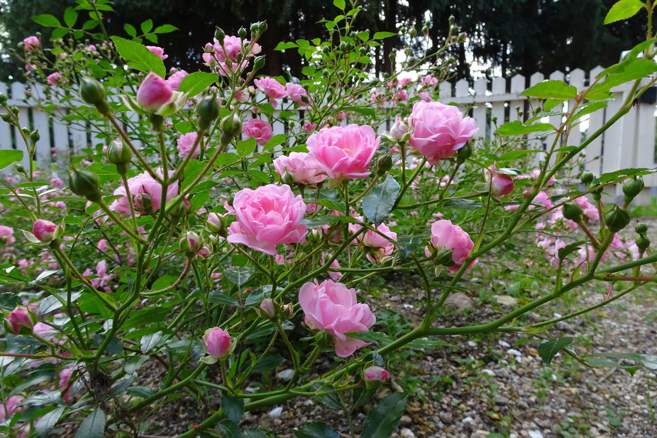 Blooming Flower Flower Head Freshness Garden Flowers Gardening Growth Pink Color Pink Roses