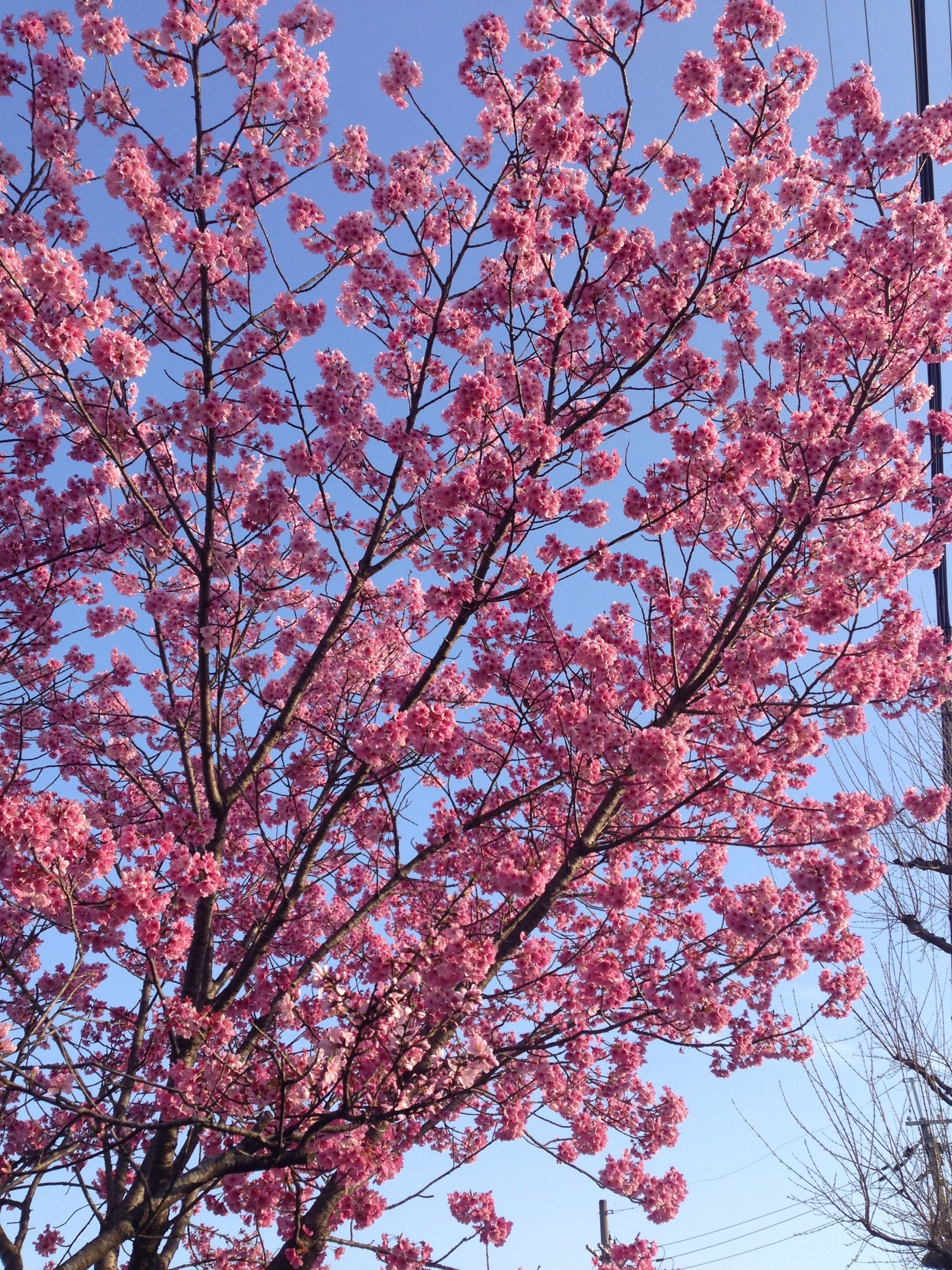 tree, flower, branch, growth, low angle view, pink color, beauty in nature, nature, freshness, blossom, fragility, sky, clear sky, day, pink, outdoors, no people, tranquility, in bloom, springtime
