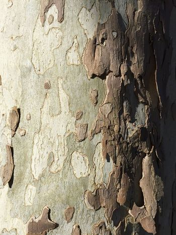 Shedding bark in the sfternoon light Backgrounds Full Frame Textured  Close-up Rough Weathered Peeled Outdoors Peeling Off Peeling No People Tree Trunk Bark Texture Bark Texture Background Bark Nature Surfaces And Textures Textures And Surfaces