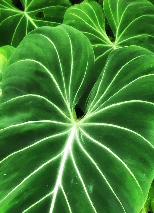 Lush Foliage Heart Shaped  Leaf Vein Patterns In Nature McKee Botanical Garden
