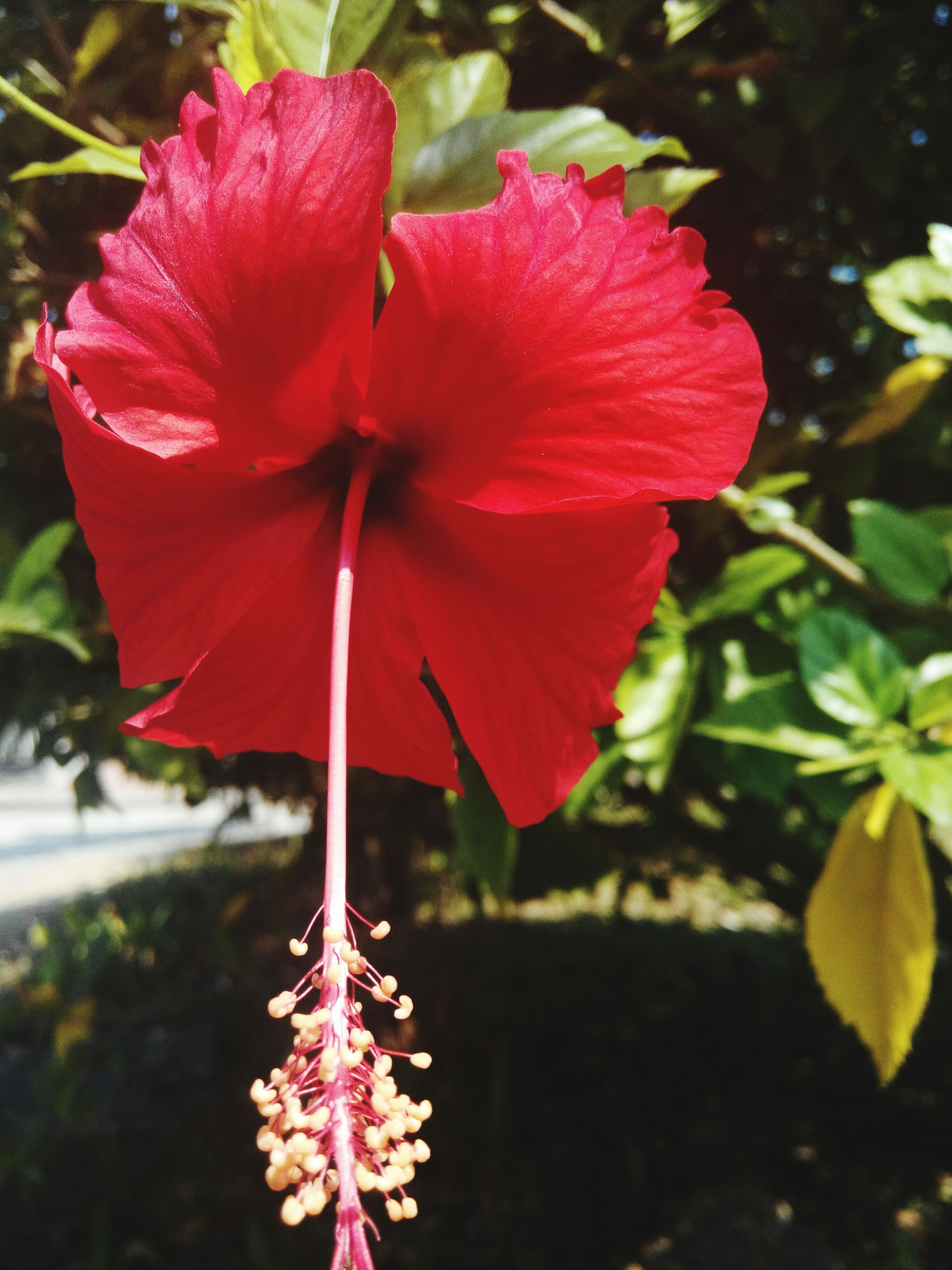 flower, petal, freshness, flower head, red, fragility, growth, beauty in nature, blooming, close-up, focus on foreground, stamen, pollen, nature, hibiscus, plant, in bloom, single flower, blossom, pink color