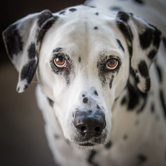 A recent photo shoot with 2 amazing dogs. But then again, all dogs are amazing. Dalmatian Dalmatian Dog Dogs Best Friends Canine Dog Domestic Animals Pet Playful Dog