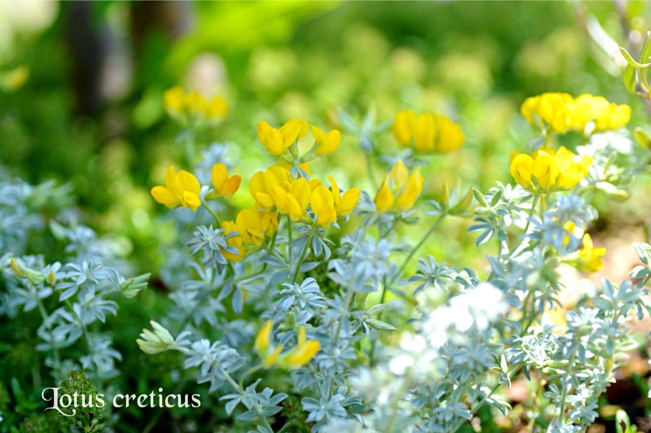 Japan EyeEm 2015 Nikon D5200 TAMROM 庭に咲く花 花 In My Garden... Flower Lotus Creticus ロータス クレティクス