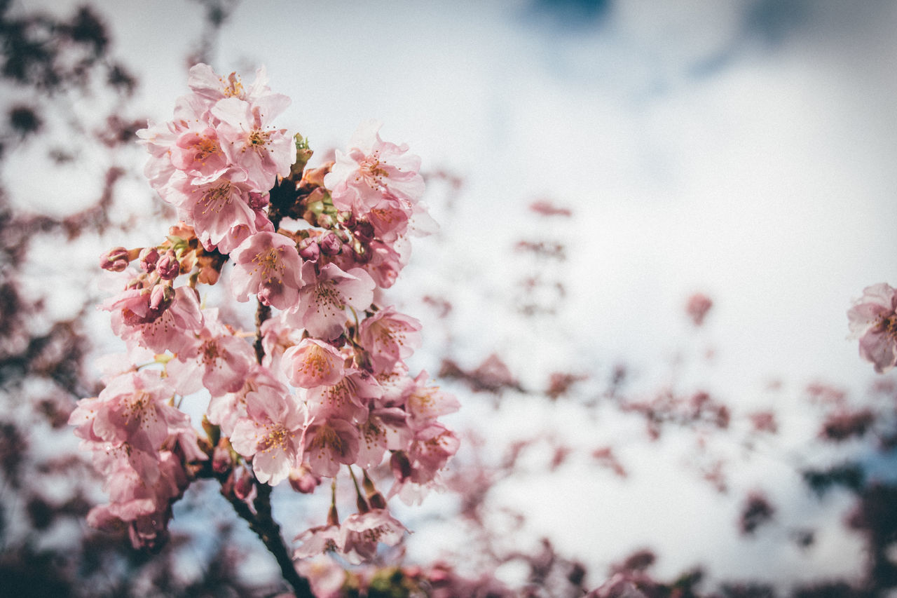 Beautiful stock photos of japan, Beauty In Nature, Branch, Close-Up, Day