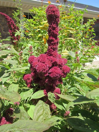 Giant Burgundy Elephant Head Amaranth Ornamental Flowers Considered a garden novelty on the plant world, Elephant's Head Amaranth is known for its unique stalk resembling an elephant's head and trunk, a hand gesture, a conversation piece and a food source! Burgundy Flowers Unique Garden Novelty Ancient History EyeEm Nature Lover EyeEmNewHere Amaranth Amaranthaceae Family Amaranthus Elephant Head Aztec Cultivated Background Photography Conversation Piece Elephants Trunk Flower Head Food Food Source Fuzzy Blooms Gangeticus Ornamental Giant Finger Gesture Green Salad Leaves Large Grain Plant Leaf Vegatable Macro Maroon Flowers Ornamental Plants Pigweed