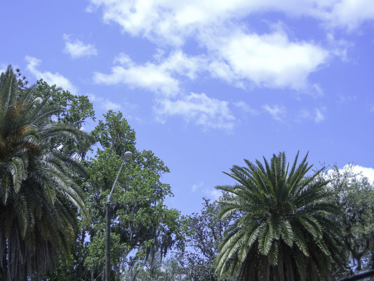 Bright blue skyscape above tropical palms and live oak trees. Beauty In Nature Blue Sky Bright Clouds Clouds And Sky Cloudscape Dramatic Sky Low Angle View Nature No People Outdoors Palm Trees Scenics Sky Tree Trees Tropical Tropical Climate