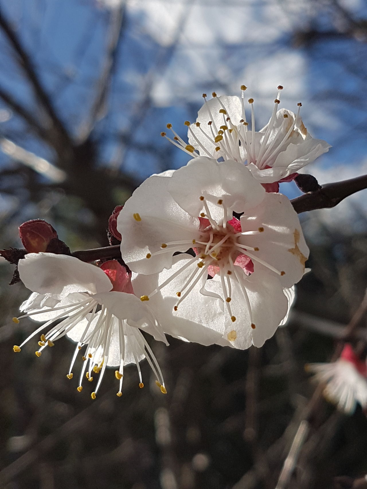 Apricot Blossoms Blossom Close-up Sunlight Freshness Springtime Spring Flower Head Outdoors Tree Fragility Beauty In Nature No Edit/no Filter