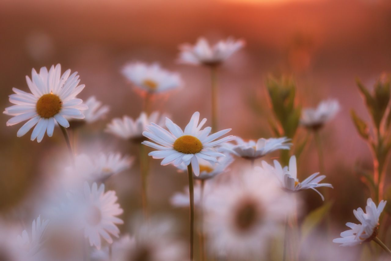 Beautiful stock photos of flowers, Beauty In Nature, Daisy, Flower, Meadow