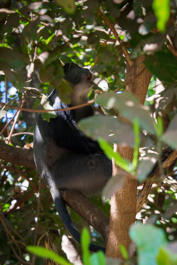 Diademmeerkatze Diademed Monkey Affe Affen Africa Tanzania Tansania Lake Manyara FUJIFILM X-T1 Animals In The Wild EyeEmNewHere
