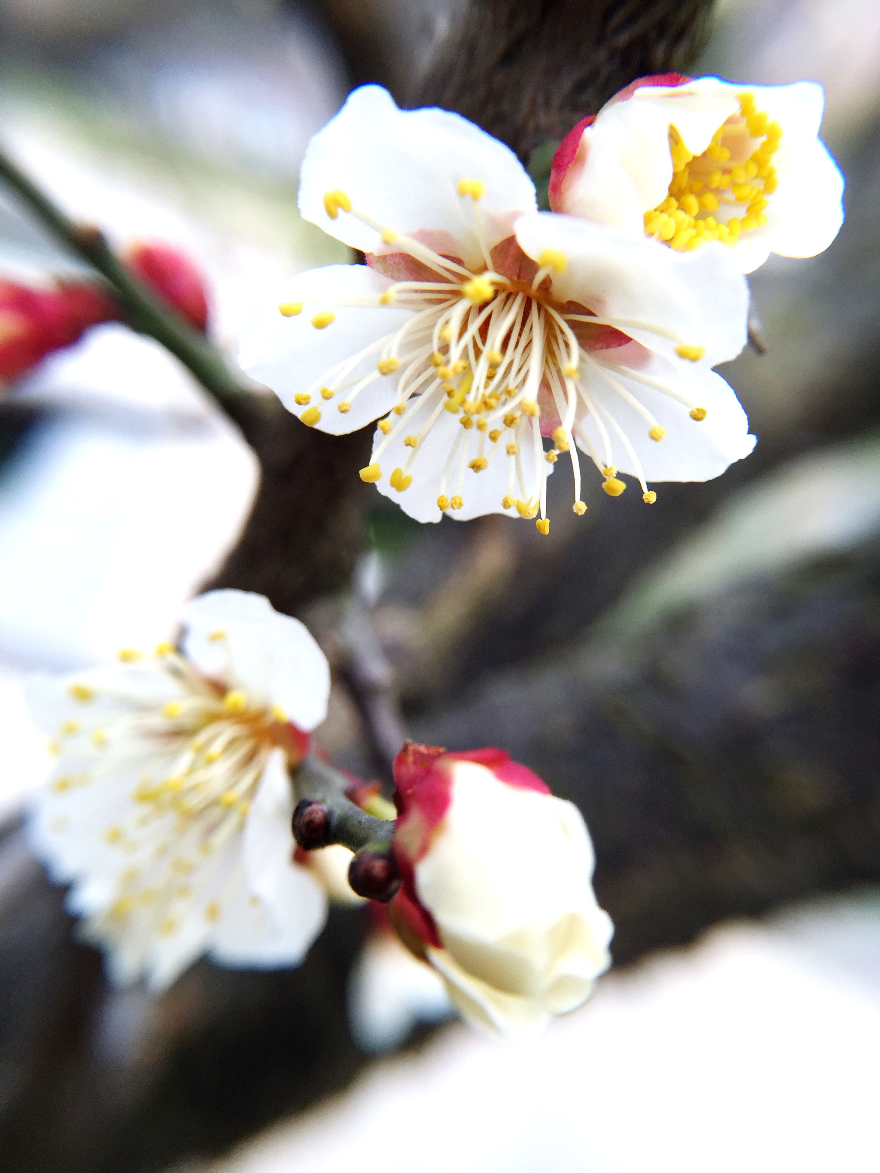 flower, petal, freshness, fragility, flower head, beauty in nature, close-up, white color, growth, nature, pollen, stamen, blossom, focus on foreground, blooming, in bloom, selective focus, botany, springtime, no people