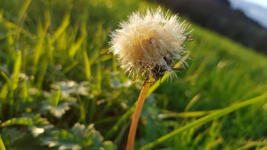 Dandelion Autumn Collection Flower Nature Plant Fragility Close-up Growth Outdoors Beauty In Nature Uncultivated Focus On Foreground No People Day Green Color Freshness Flower Head Grass